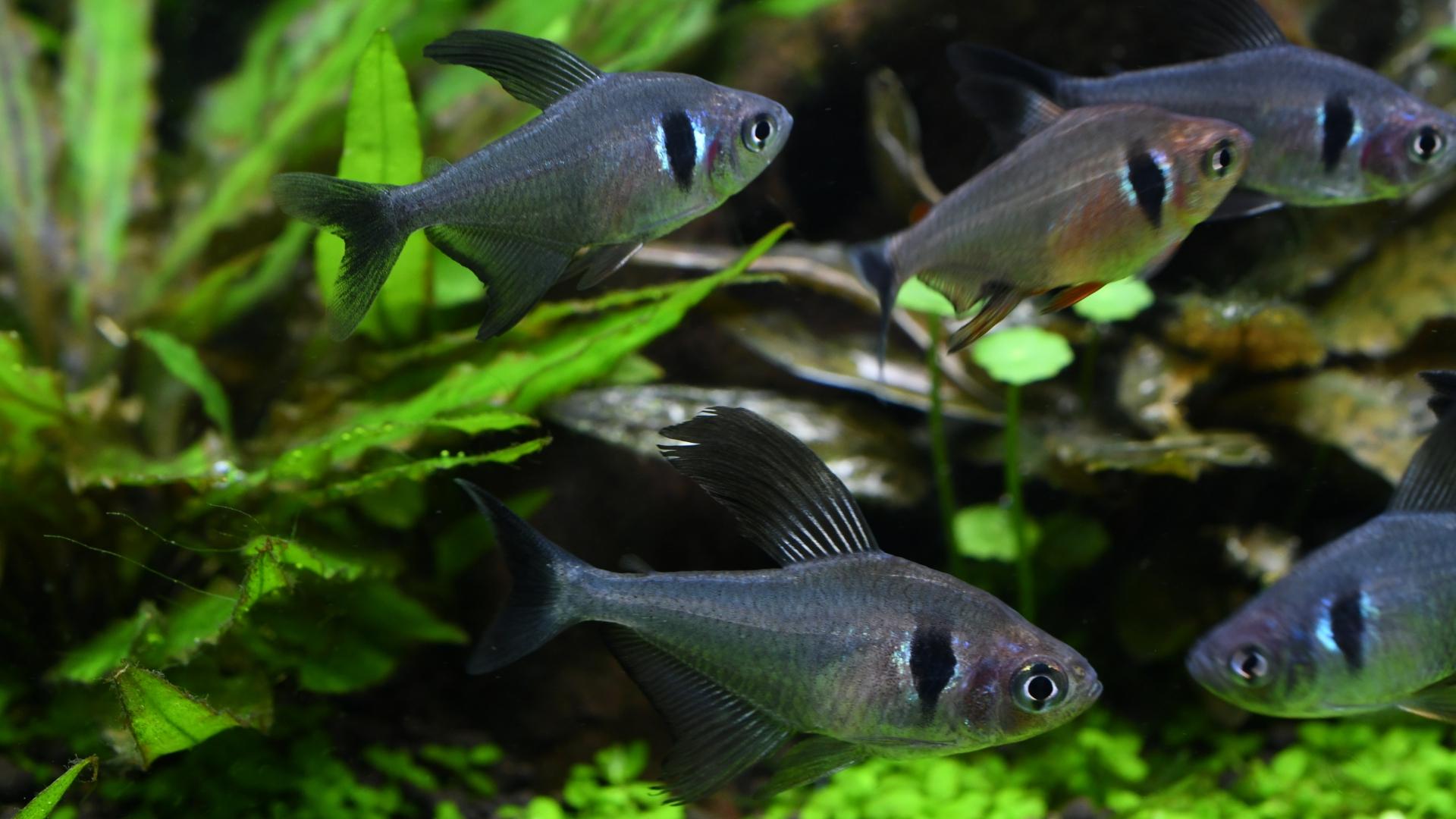 熱帯魚紹介:ブラックファントム・テトラ