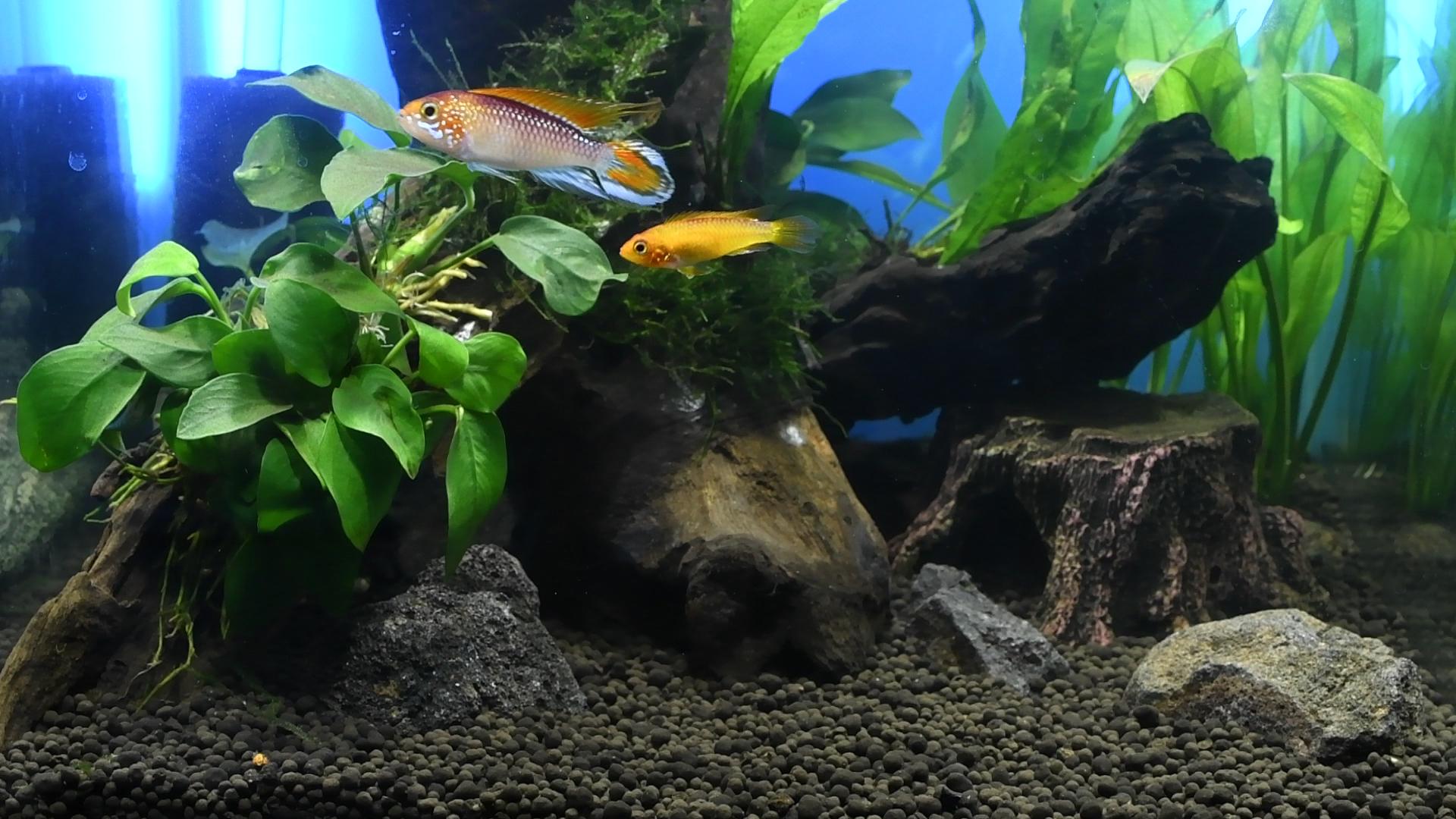 熱帯魚紹介:アピストグラマ
