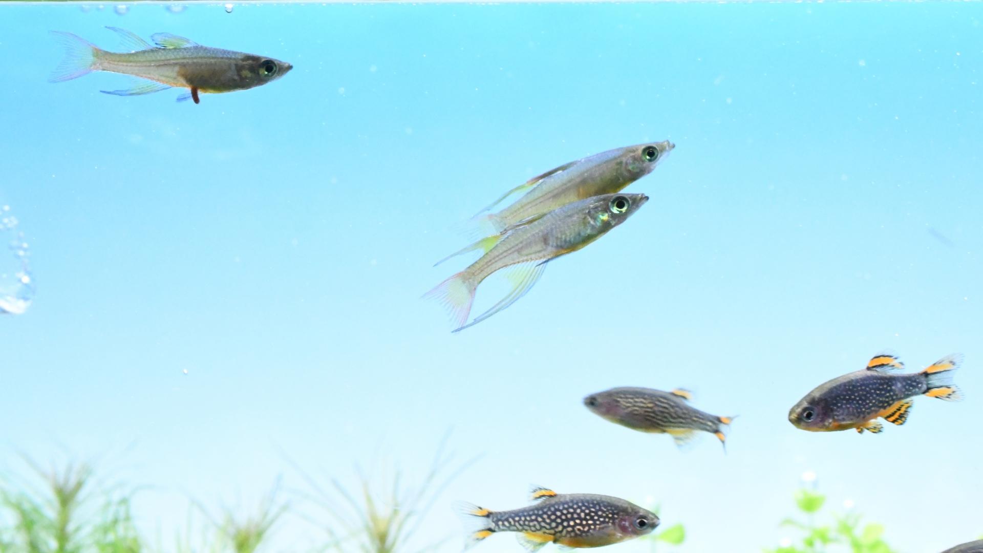 熱帯魚紹介:スリム&ヒレ長 ニューギニア・レインボー