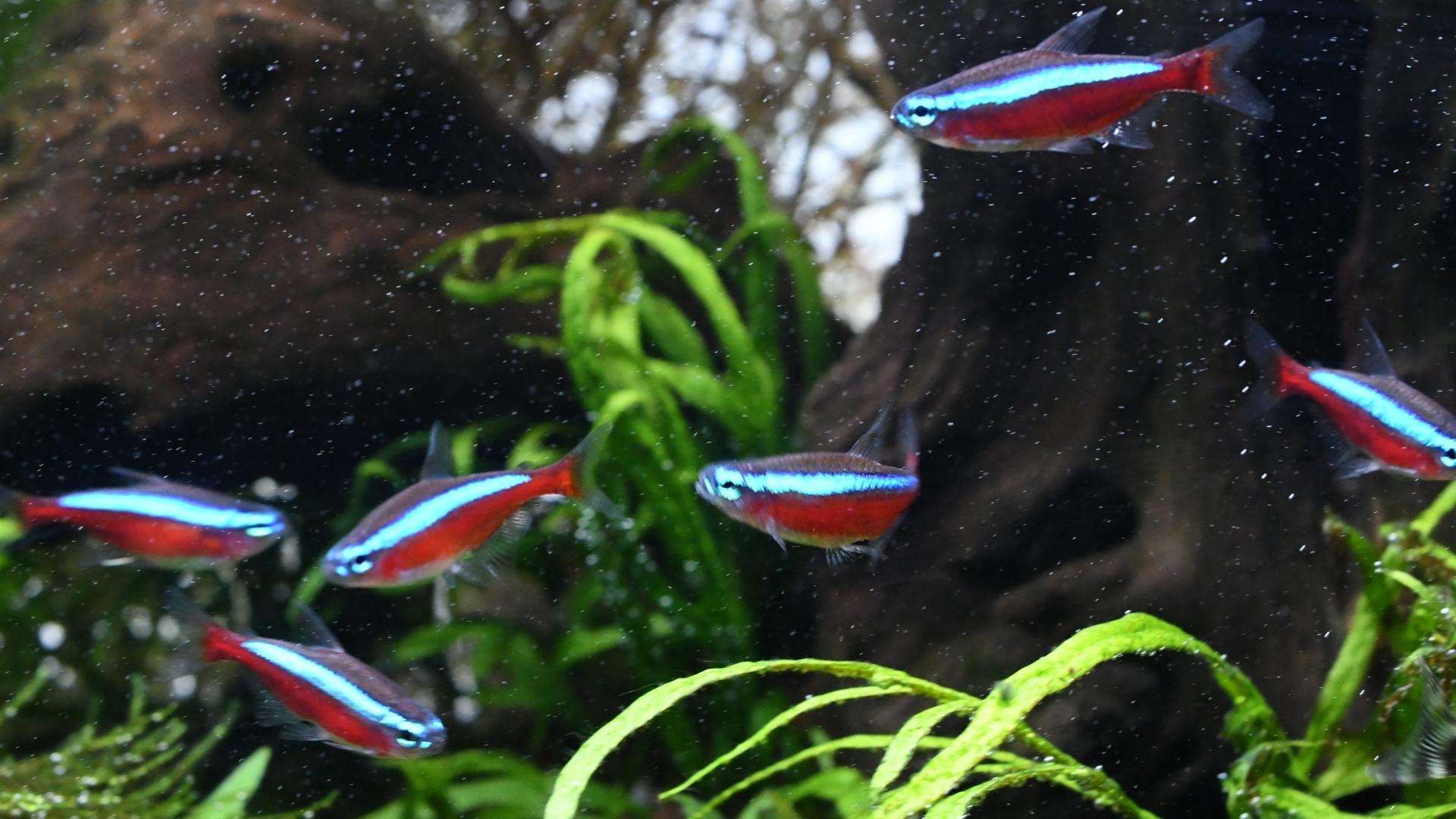 熱帯魚紹介:熱帯魚の王道 カージナルテトラ