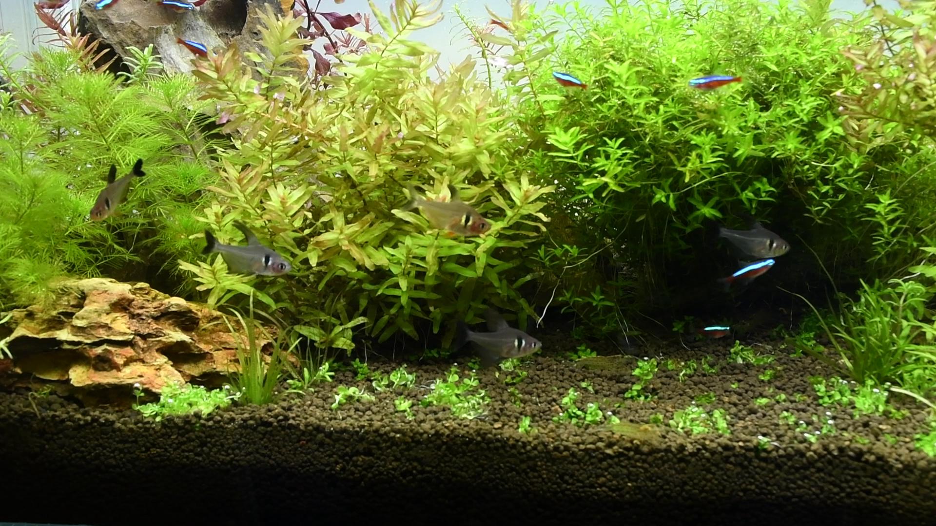 水草紹介:淡い色合いが美しい ロタラ マクランドラグリーン