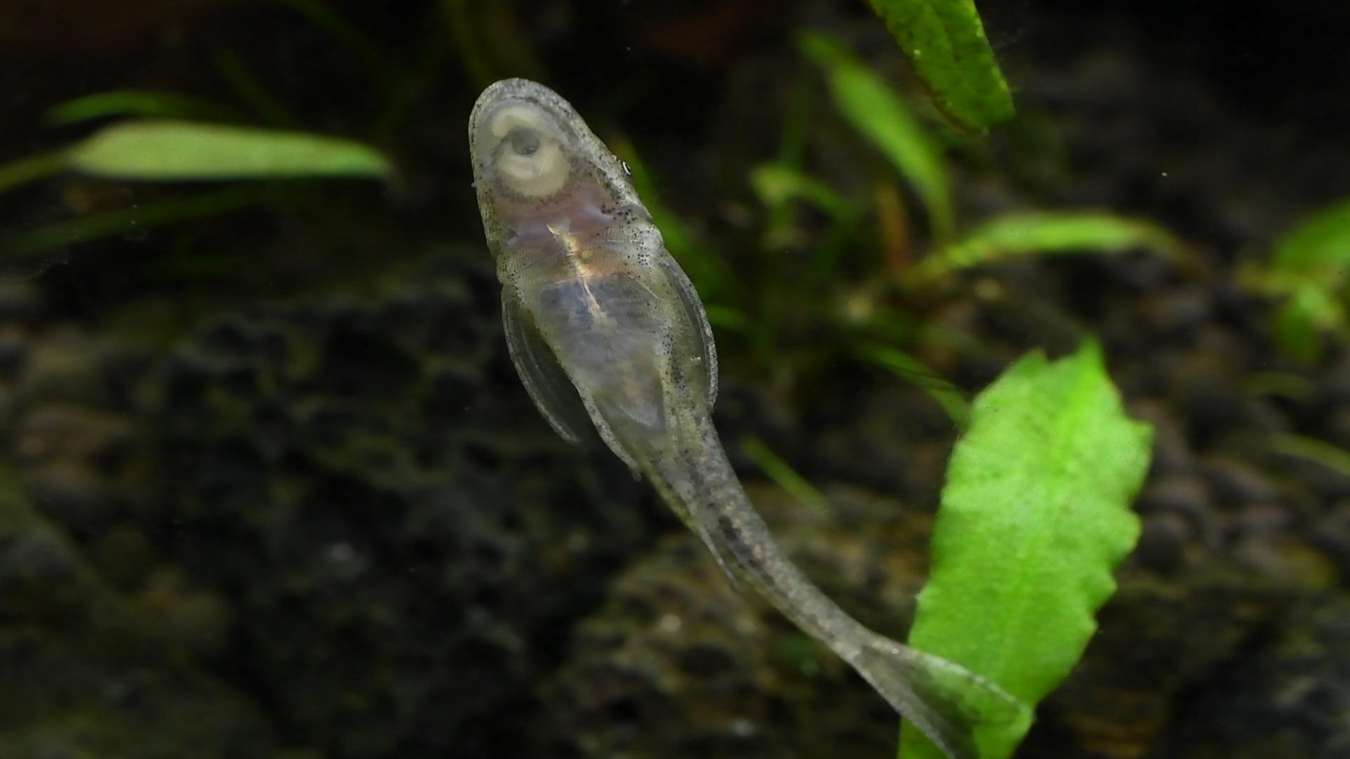 熱帯魚紹介:何が違う?オトシンクルスとオトシンネグロ