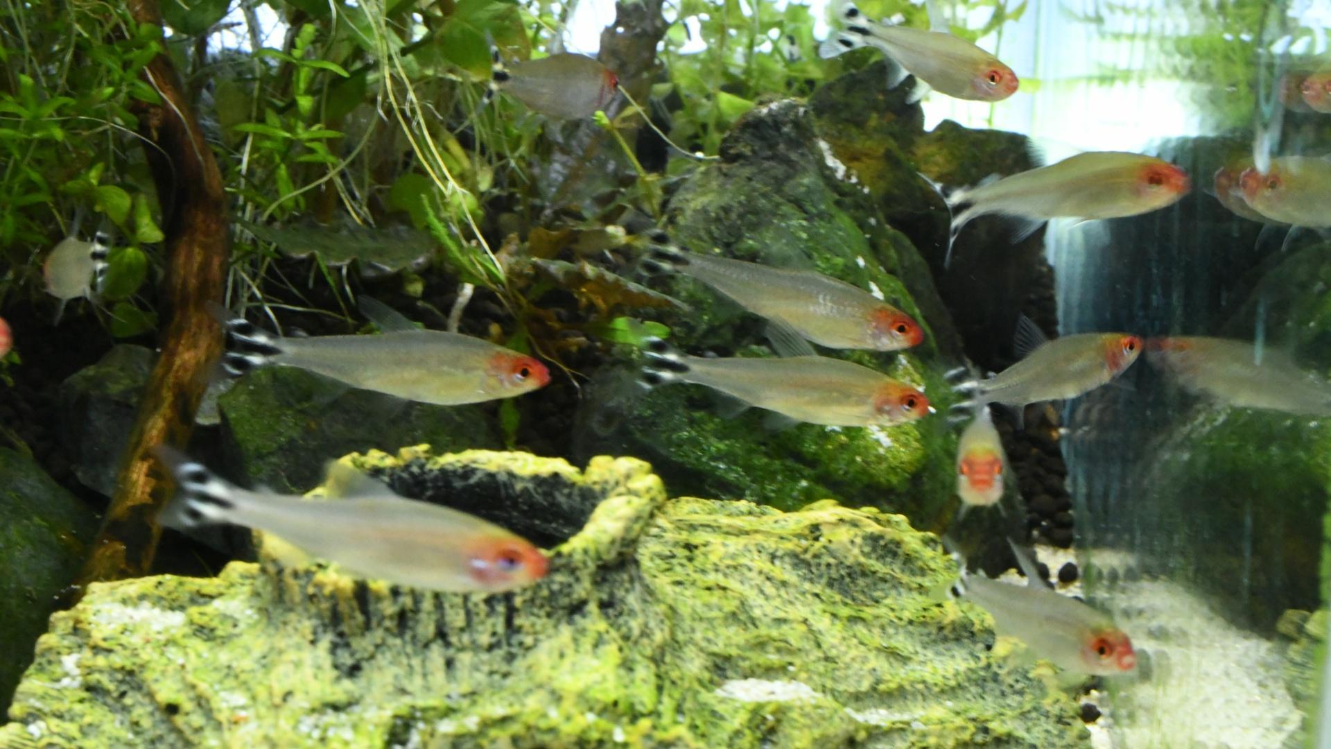 熱帯魚紹介:頭と尾ビレがアクセント ラミーノーズテトラ