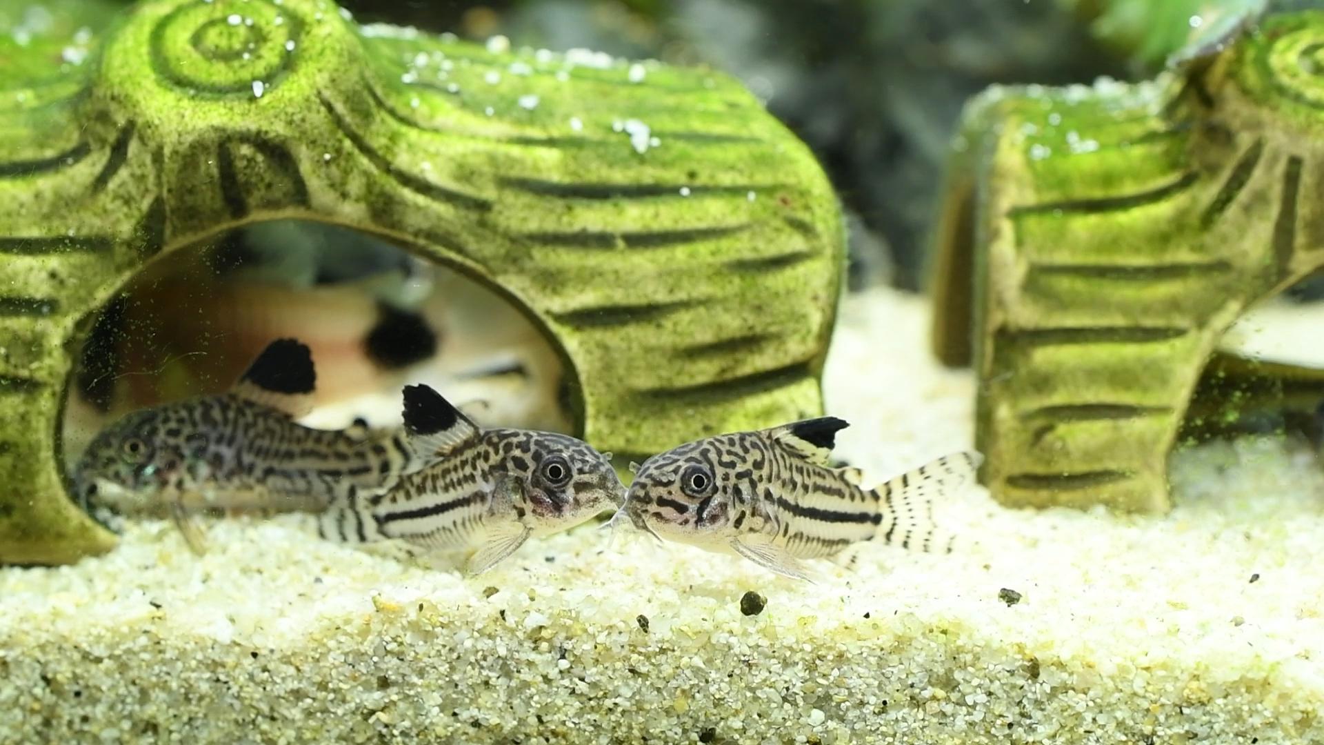 熱帯魚紹介:柄が可愛い コリドラス・ジュリー