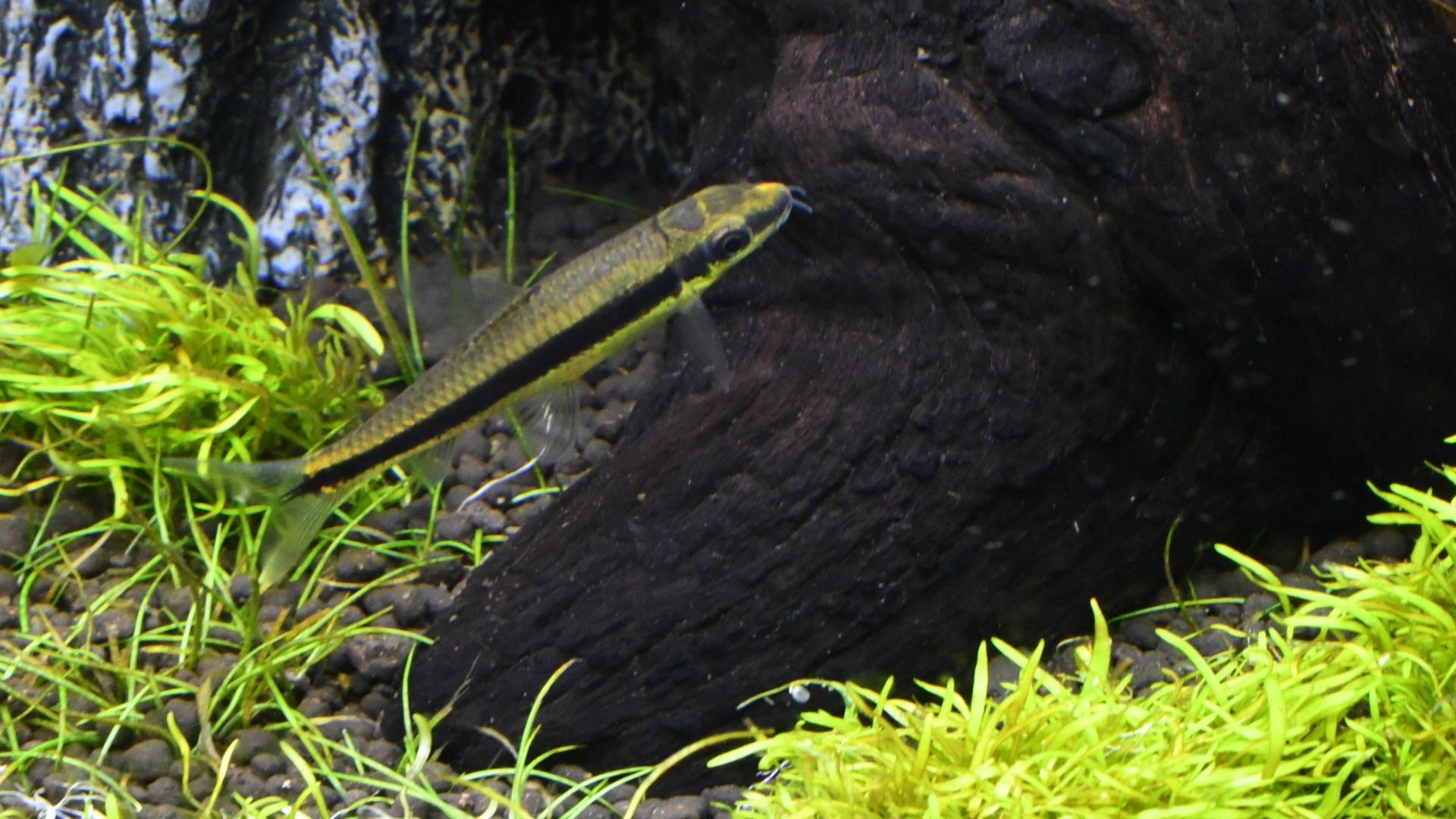 熱帯魚紹介:コケを食べる熱帯魚 サイアミーズフライングフォックス