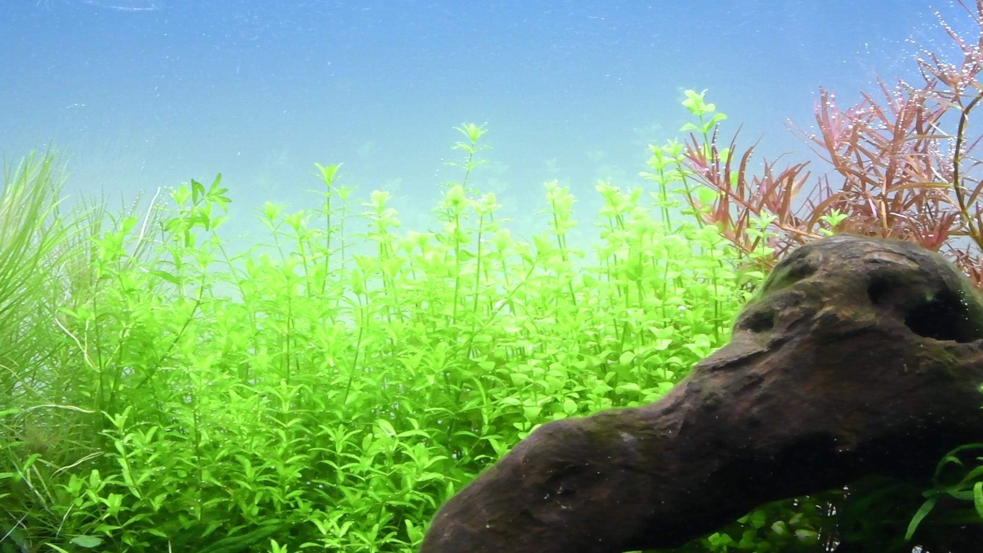 水草紹介: 最初元気 でも徐々に…なパールグラス