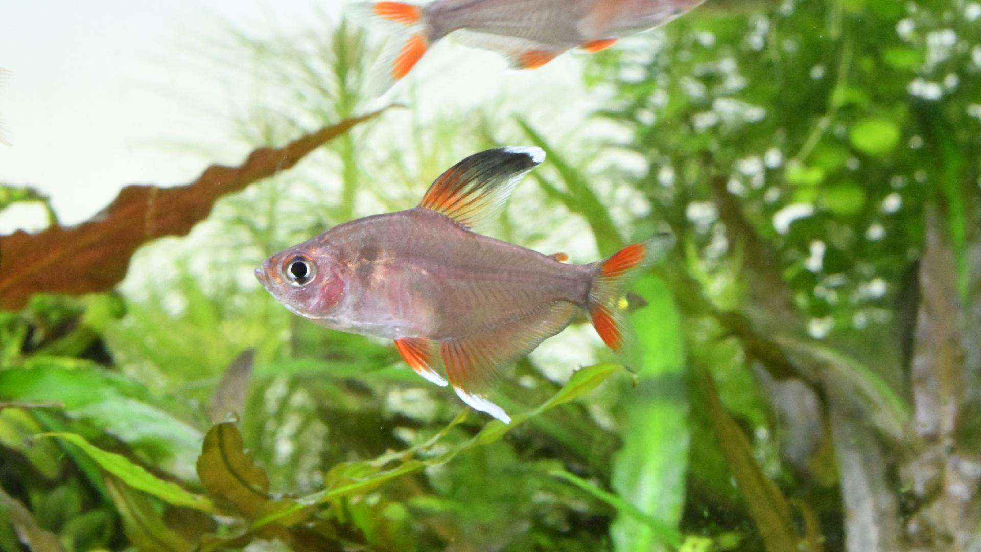 熱帯魚紹介:3色のヒレが可愛い ホワイトフィン・ロージーテトラ