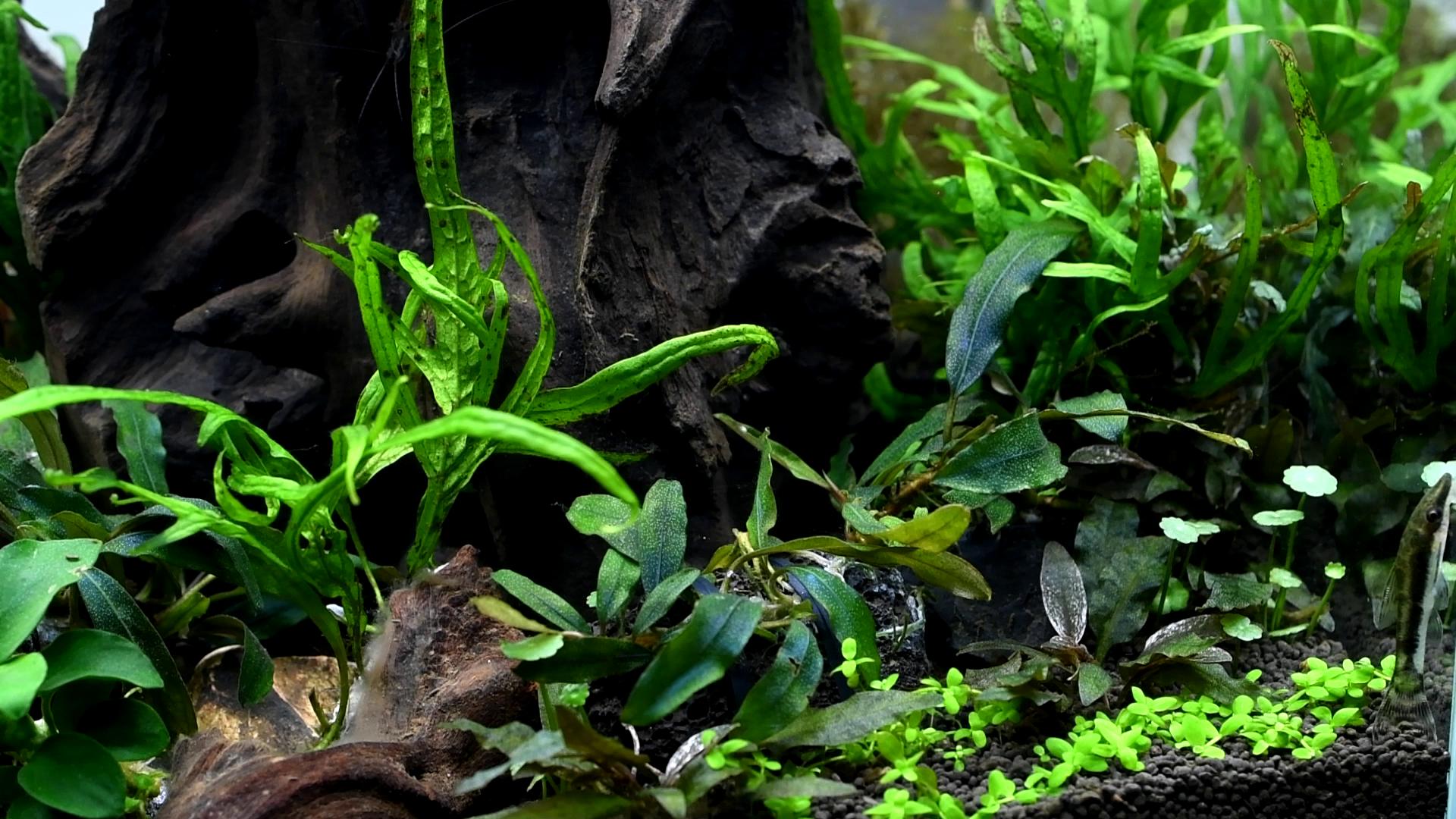 失敗した水草:ずっと現状維持な ブセファランドラ・クアラクアヤンⅠ