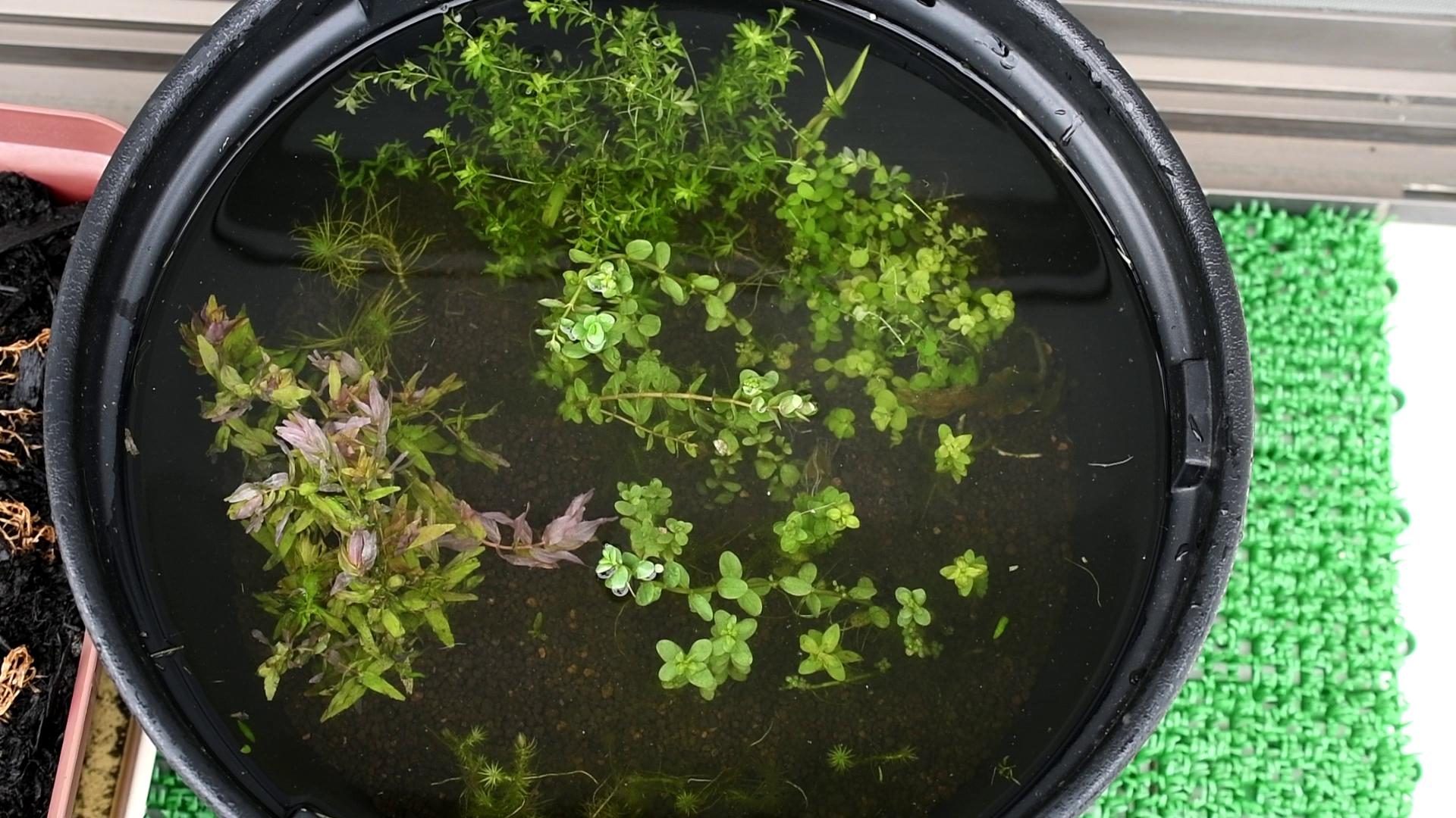 ビオトープ? いや、水草ストック鉢です。