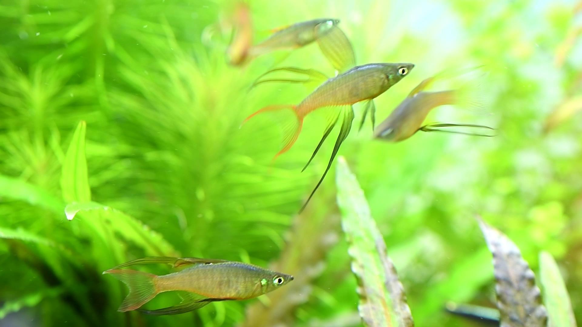 熱帯魚ギャラリー:ニューギニア・レインボー再び
